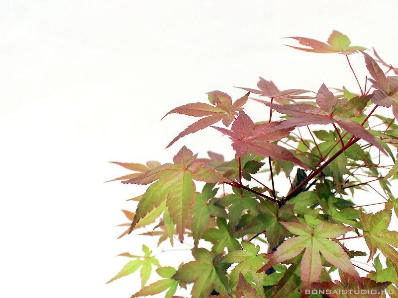 Hogyan termeszthetünk japán juhar bonsai -t